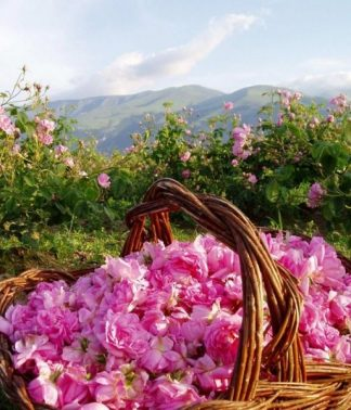 Bulgarian rose oil | Rosa Damascena